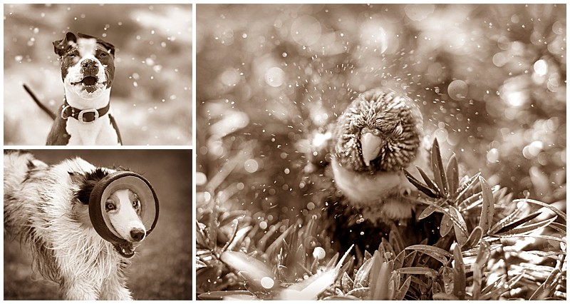 Bird shaking rain, water, lorikeet, dogs having fun in water, pets having fun in the rain, pet photography, professional pet photography, Perth pet photographer