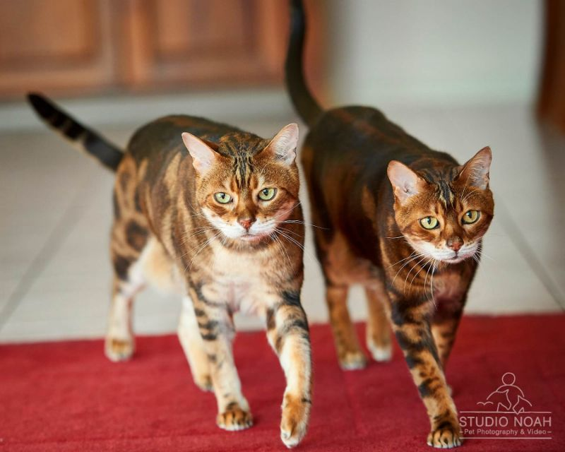 Meet Chester & Nitro, Two Cheeky Bengal Cats