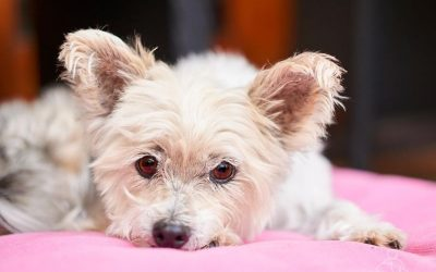 Meet Mimi, the Silky Terrier With Adorable Photos