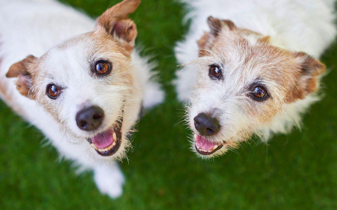 Jack Russell Siblings – Meet Jack & Sam!