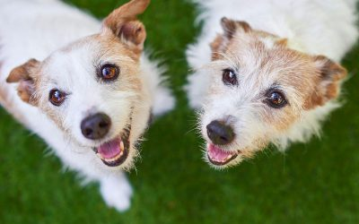 Jack Russell Siblings – Meet Jack & Sam!