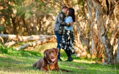 Are You A Chocolate Labrador fan? Meet Chief!