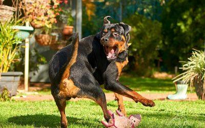 Rottweiler Mobi & His Sibling Overlord Kimba