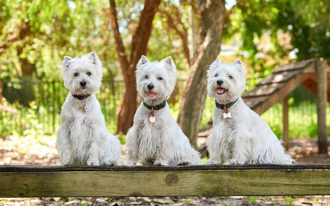 A Westie Overload! Meet Hamish, Maysie & Dougal