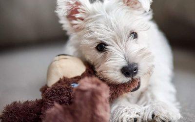 """Puppy Alert! Meet Westie Nat """"Fyfey"""" Fyfe"""
