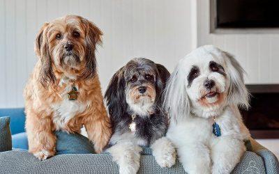Tibetan Terriers Boondi, Nanook & Buttercup