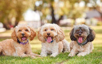 Oodles of Cavoodles! Lulu, Missy & Koda
